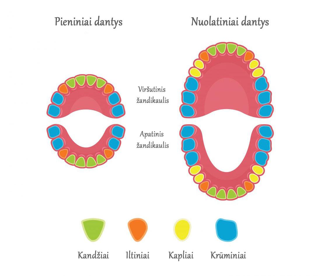 Dantų tipai